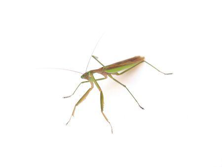 praying mantis Stock Photo - 9938649