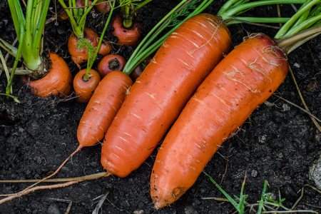 Fresh organic carrots right out of the ground. Washing off dirt, Organic gardening at its finest. Stock Photo