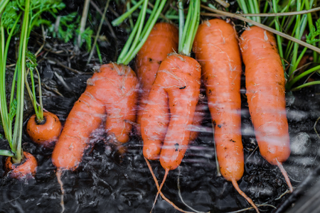 washed: Fresh organic carrots right out of the ground. Washing off dirt, Organic gardening at its finest. Foto de archivo