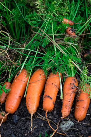 Fresh organic carrots right out of the ground. Organic gardening at its finest. Stock Photo