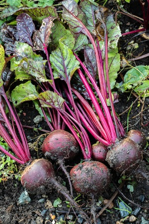 Fresh organic Beetroot right out of the ground. Organic gardening at its finest.