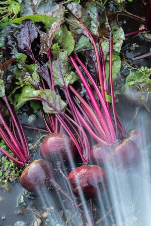 Fresh organic Beetroot right out of the ground.Washing the dirt off beet. Organic gardening at its finest.