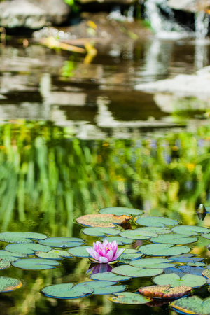 Beautifull water lily in the water