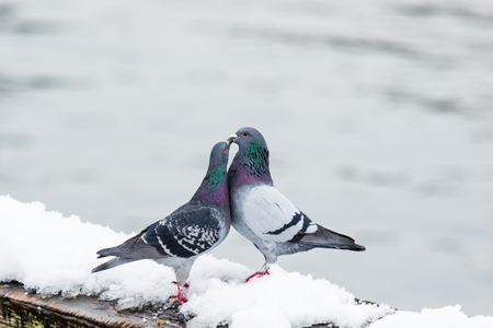 lock symbol: two feral pigeons are mating on a cold day.