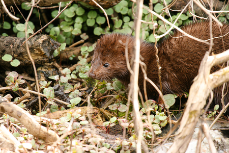 Wild mink posing in early spring Stock Photo