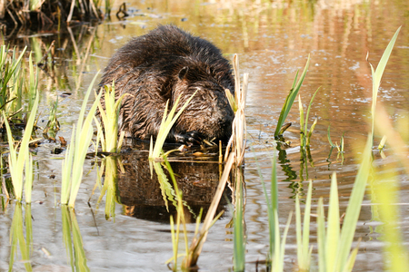 big beaver eating roots in the lake.