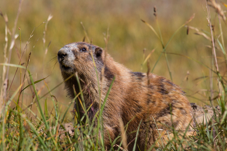 wildanimal: Marmot posing in the grass on sunny day Stock Photo