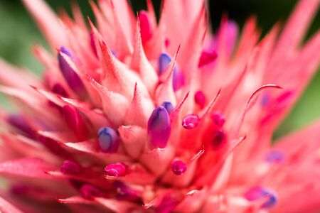 Aechmea fasciata (Silver vase or Urn plant) is a species of flowering plant in the bromeliad family, native to Brazil. Close up. Selectice focus. Shallow depth of field.