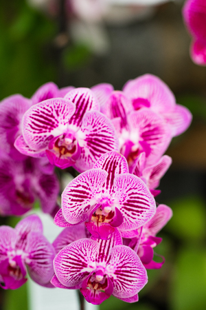 Pink Phalaenopsis Orchid flower is blooming in a tropical garden. Floral background.