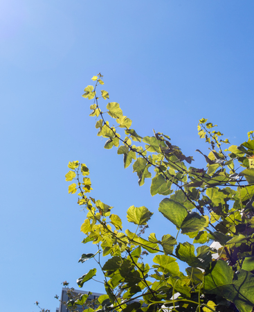 Young grape branches reaching high towards the sun.