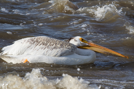 White pelicans flying over to far North for mating at Slave River, Pelican Rapids, Ft. Smith, Northwest Territories, Canada Foto de archivo