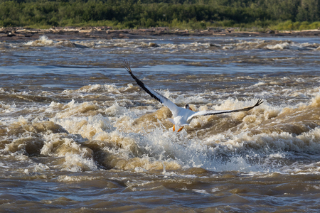 Great White Pelicans (Pelecanus onocrotalus) flying over to far North for mating at Slave River, Pelican Rapids, Ft. Smith, Northwest Territories, Canada