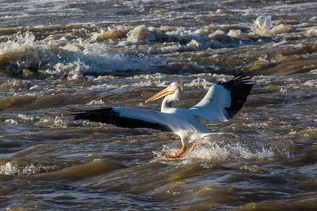 Great White Pelicans (Pelecanus onocrotalus) flying over to Canadian north for mating at Slave River, Pelican Rapids, Ft. Smith, Northwest Territories, Canada