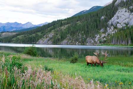 Elk bull with a beautiful blue lake in the background. Banff national park, Alberta, Canada. Imagens