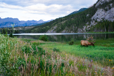 Elk bull with a beautiful blue lake in the background. Banff national park, Alberta, Canada. Stock Photo