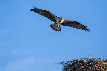 Osprey (Pandion haliaetus) flying with fish in tallons. Mackenzie river, Northwest territories ( NWT) Canada