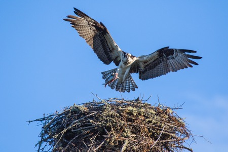 Osprey (Pandion haliaetus) flying with fish in tallons over the big nest. Mackenzie river, Northwest territories ( NWT) Canada
