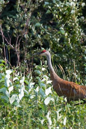 Sandhill crane (Antigone canadensis) walking in high wild grass and low bush at Mackenzie river, Northwest territories ( NWT) Canada.