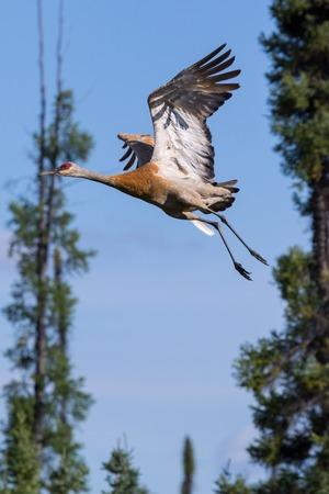 Sandhill crane flying. Mackenzie river, Northwest territories ( NWT) Canada Stock Photo
