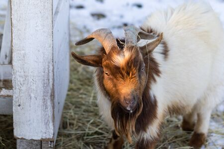 Close up portrait of funny cute goat. Beautiful Goat farm animal at petting zoo. Banco de Imagens