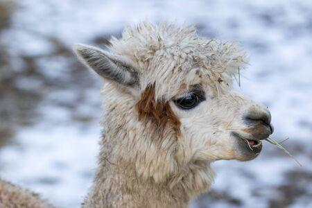 Portrait of a cute alpaca. Beautiful llama farm animal at petting zoo.