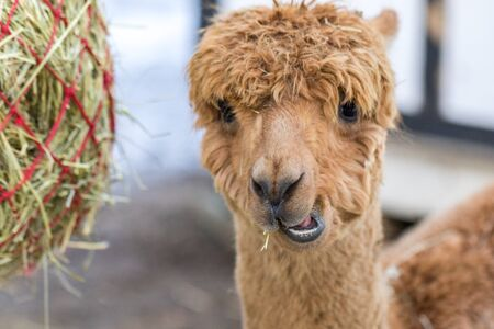 Portrait of a cute alpaca. Beautiful llama farm animal at petting zoo.