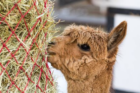 Portrait of a cute alpaca munching on hay. Beautiful llama farm animal at petting zoo.