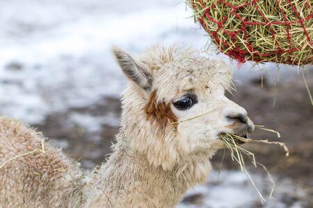 Portrait of a cute alpaca munching on hay. Beautiful llama farm animal at petting zoo.