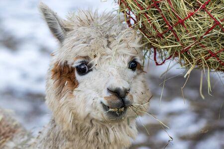 A funny alpaca close-up eating grass and chewing. Beautiful llama farm animal at petting zoo.