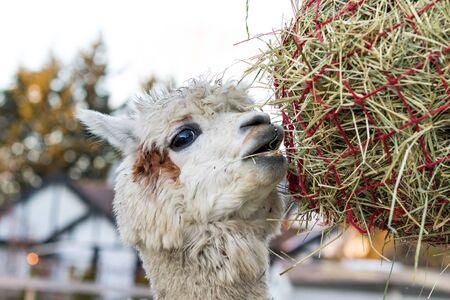 Funny alpaca eating hay. Beautiful llama farm animal at petting zoo.