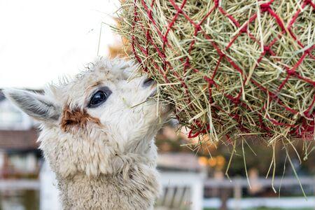Cute alpaca eating hay. Beautiful llama farm animal at petting zoo. Stockfoto