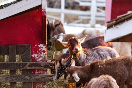 Group of cute dwarf goats eating hay by the barn. Beautiful farm animals at petting zoo.