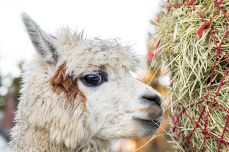 Funny alpaca eating hay. Beautiful llama farm animal at petting zoo.