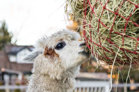 Cute alpaca eating hay. Beautiful llama farm animal at petting zoo. 免版税图像