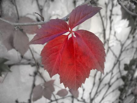 focal: A red-brown leaf of woodbine in September focal B&W (clipping path) Stock Photo