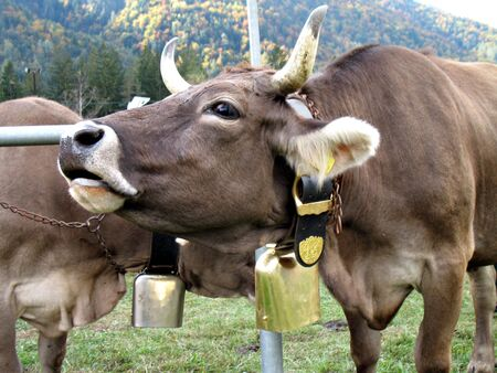 bellowing: Moo of a cow. Cattle fair in Val Vigezzo, VB, Italy