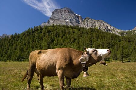 Cow in Alpe Veglia italian natural park and Monte Leone in background, Piemonte, Italy
