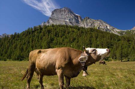 Cow in Alpe Veglia italian natural park and Monte Leone in background, Piemonte, Italy photo