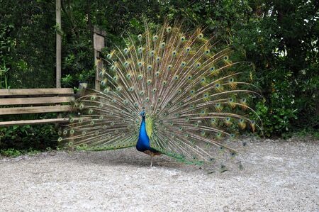 peacock wheel: Pavone colorata ruota in un giardino