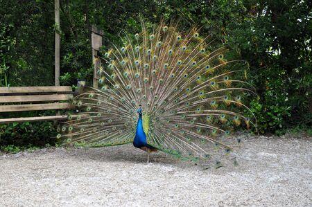 peacock wheel: Colorful peacock wheel in a garden