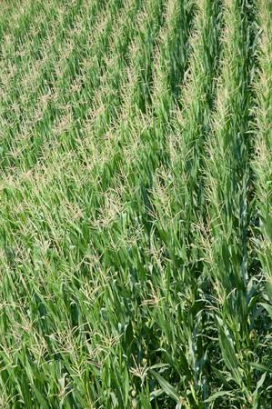 zea mays: A green field of corn (Zea mays) in summer season Stock Photo