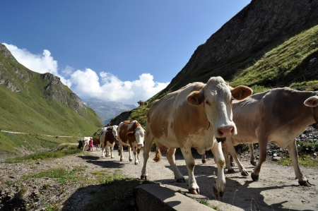 Cows in high mountain alpine rough grazing, Val Formazza, Italy Stock Photo