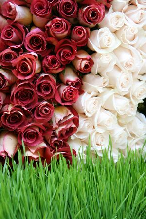 Large group of red and white roses
