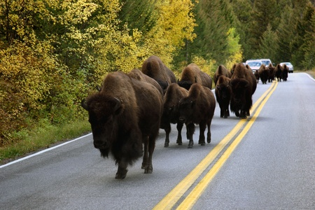 Buffalo In The Road In Yellowstone Stock Photo - 13141791