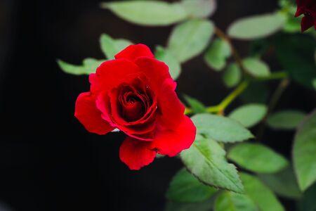 red rose in the morning light