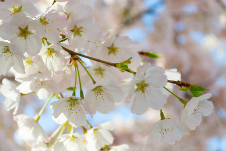 withe: The National Cherry Blossom festival is a spring celebration in Washington DC. It started in 1912 when the Mayor of Tokyo (Yukio Ozaki) gave these Japanese Cherry trees to the City of Washington.