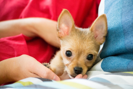 Chihuahuas are the smallest breed of dogs and are originally from the region of Mexico with the same name