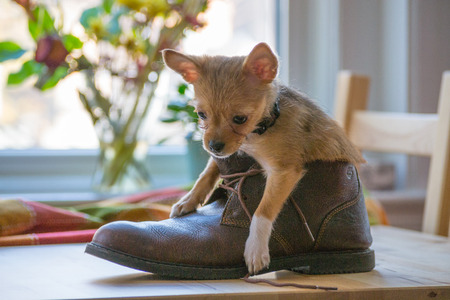 familiaris: Chihuahuas are the smallest breed of dogs and are originally from the region of Mexico with the same name