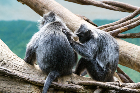 This kind of old world monkey can be found in Malaysia, Sumatra and Borneo Banco de Imagens