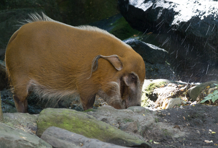 The red river hog (Potamochoerus porcus) is a member of the familiy of the pigs living in Africa